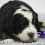 Daisy (F) - RESERVED BY BREEDER